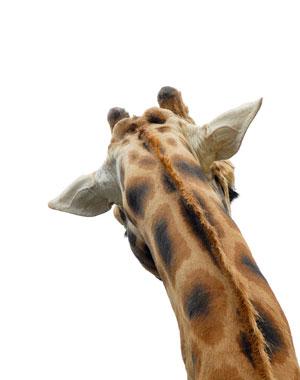 Giraffe, Wellington Zoo 2007